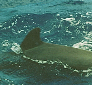 Ballenas y delfines en Tenerife 3