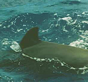 Ballenas y delfines en Tenerife 2