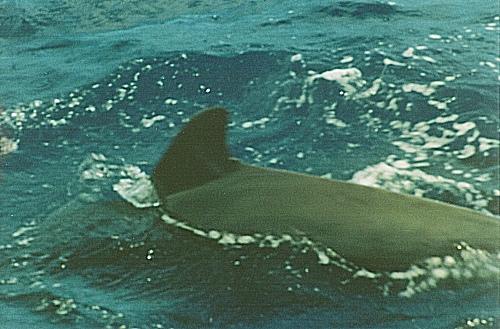 Ballenas y delfines en Tenerife 6
